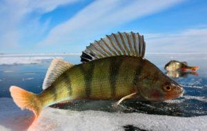 Ловля окуня зимой со льда